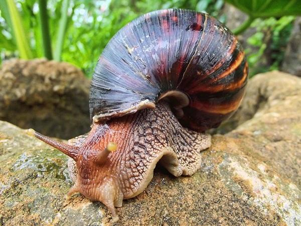 Investigadores UASD advierten de presencia de caracol gigante en región este