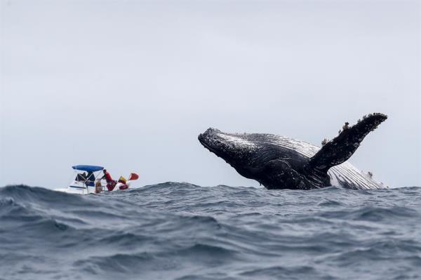 Las ballenas jorobadas o yubartas se mueven lentamente, pero recurren al engaño y a los ataques subrepticios para devorar los peces pequeños.