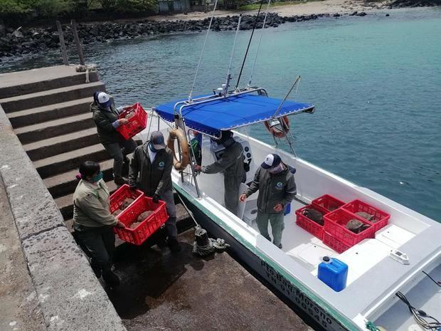 Fotografía cedida por Parque Galápagos de trabajadores del Parque trasladando tortugas.