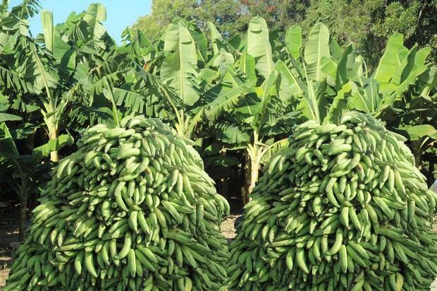 Agricultura dispone bajar precios de plátano y guineo en ventas populares