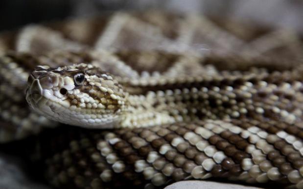 Las serpientes de cascabel engañan con su sonido a las posibles amenazas