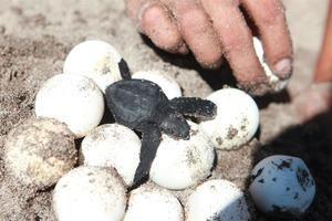Imagen de huevos de tortuga golfina.