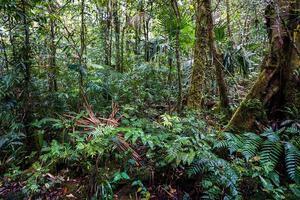 Fotografía cedida por Smithsonian de Panamá de bosque de Oreomunnea mexicana en la Reserva Hidrológica de Fortuna, en Panamá.