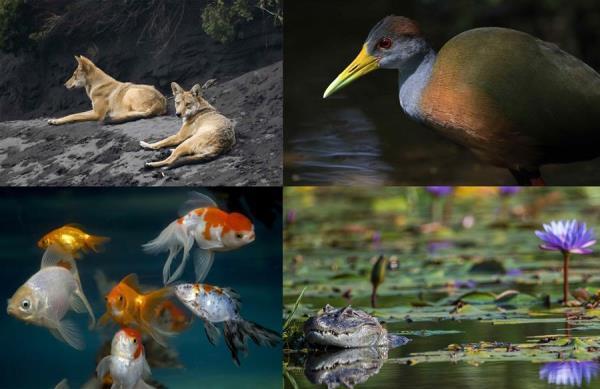 Combo de fotografías de archivo que muestran en la parte superior dos coyotes en las inmediaciones del volcán Irazú en Costa Rica (i); a una 'gallaerta' en la zona boscosa de Guápiles, en Costa Rica; y en la parte inferior, peces carpa dorada en el Zoológico Nacional de Managua (Nicaragua) (i) y a un caimán en el campo olímpico de golf de Río de Janeiro (Brasil).