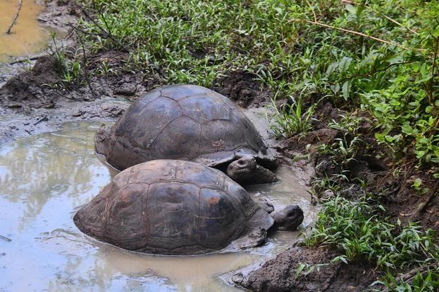 Las tortugas gigantes, ¿son los elefantes o los hipopótamos de Galápagos?