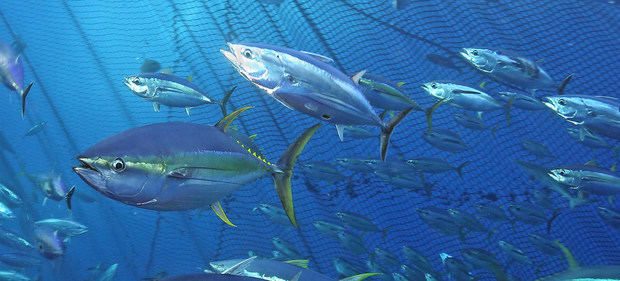 Banco de atún en el Mediterráneo.