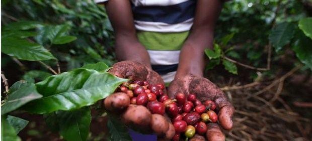 Cultivos de café en Tanzania.
