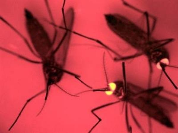 Investigación de mosquitos transgénicos