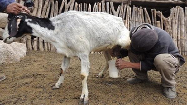Logran mejorar la calidad nutricional de la leche de cabra