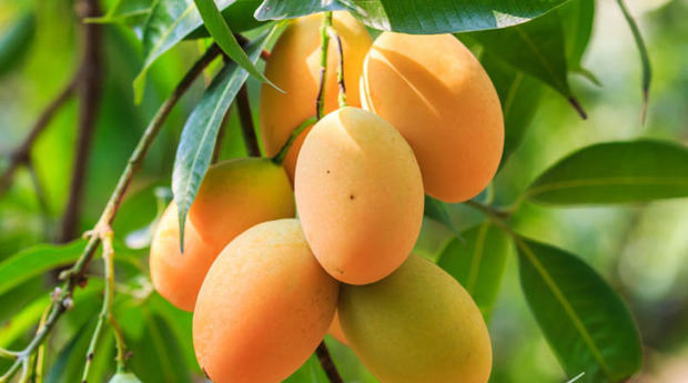 Realizarán Expo Feria Mango 2018 en Baní