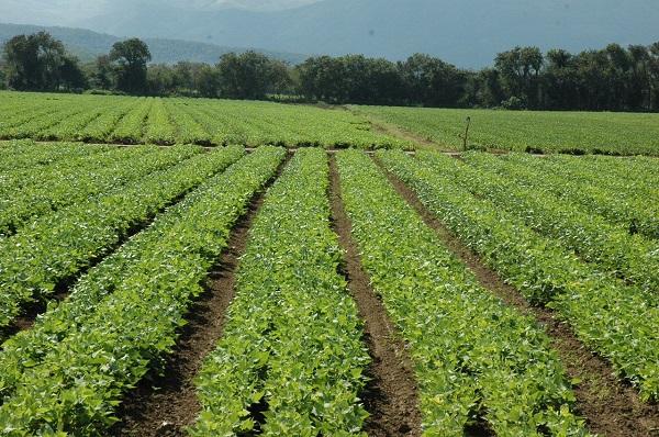 Ministerio promueve siembra de 150,000 nuevas tareas habichuela en San Juan