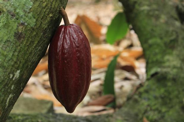 Cacao de República Dominicana es el mejor del mundo