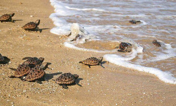 Medio Ambiente libera tres de estas especies de tortugas en playa de Güibia.