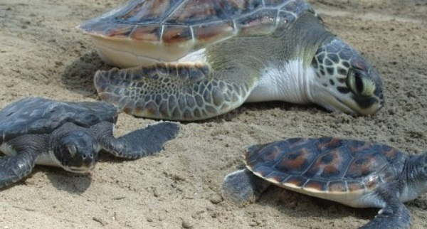 Unas 300 tortugas en peligro de extinción murieron en redes de atún en México