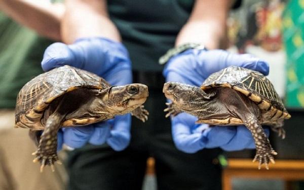 Todas las especies de tortugas tienen microplásticos dentro, según un estudio
